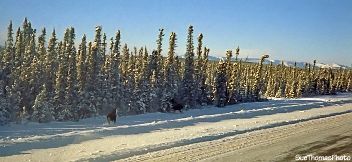 Moose along Alaska Highway, British Columbia
