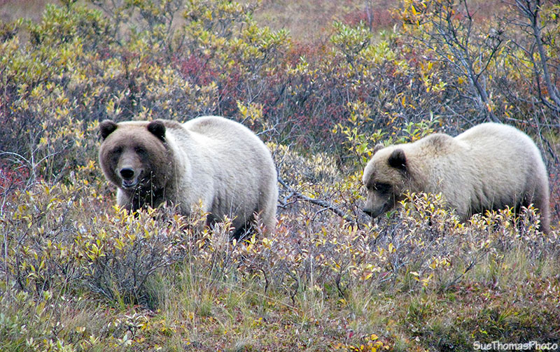 Grizzly and cub at Denali National Park, Alaska