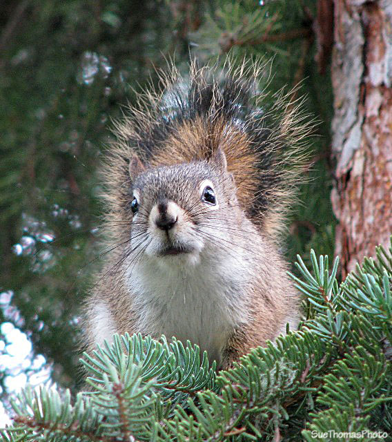Squirrel at Liard Hot Springs, British Columbia