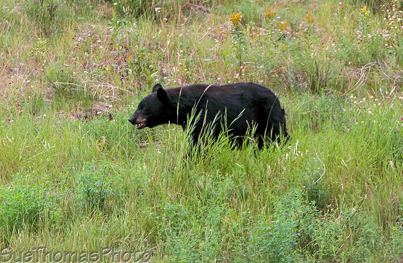 Black Bear near Liard River on the Alaska Highway, British Columbia