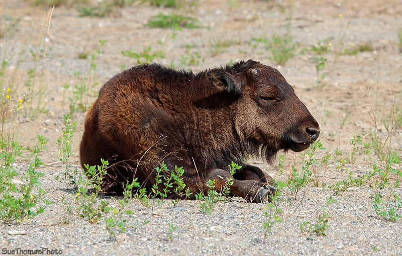 Young bison along Alaska Highway in British Columbia