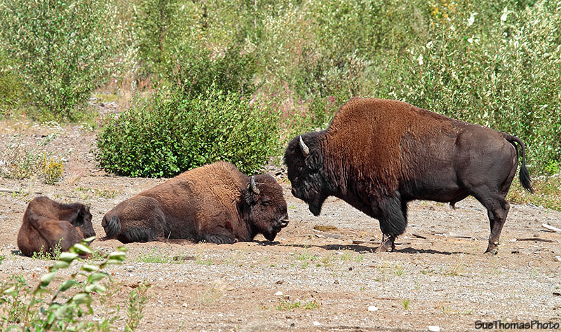 Bison along Alaska Highway in British Columbia