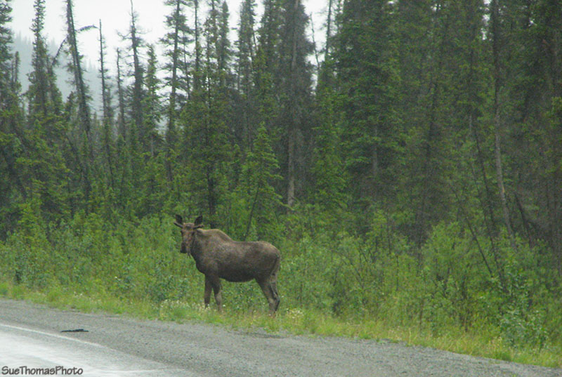 Moose between Donjek & White River, Yukon