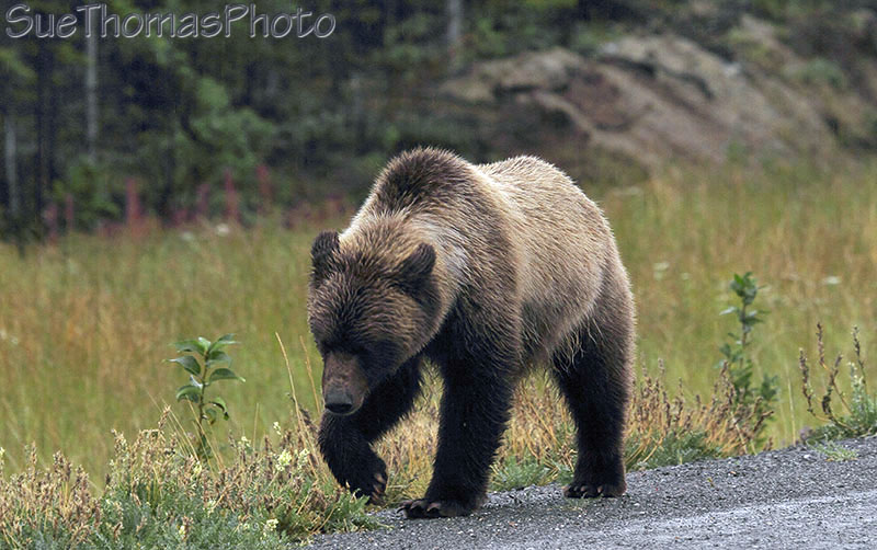 Grizzly bear on the Alaska Highway near Kluane lake