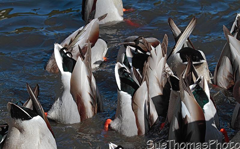 IMAGE: http://suethomas.ca/images/Birds/20100319_BobbingDucks_0505.jpg