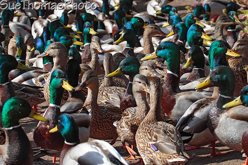 IMAGE: http://suethomas.ca/images/Birds/20100319_Mallards_0098.jpg