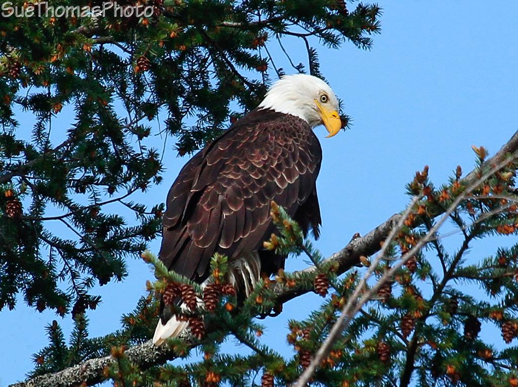 IMAGE: http://suethomas.ca/images/Birds/20100410_EagleRathtrevor_0433.jpg