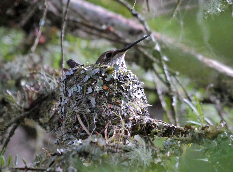 IMAGE: http://suethomas.ca/images/Birds/20100419_Hummingbird_0084.jpg