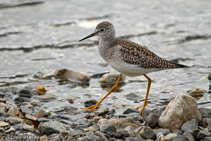 Lesser Yellowlegs  at Muncho Lake, Alaska Highway, British Columbia