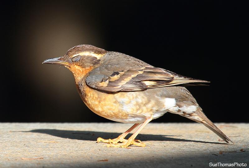 IMAGE: http://suethomas.ca/images/Birds/20110510_Bird_010.jpg
