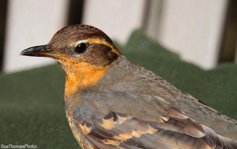 IMAGE: http://suethomas.ca/images/Birds/20110510_Bird_159.jpg