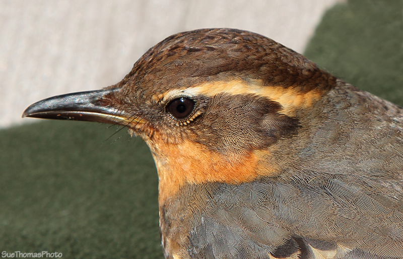IMAGE: http://suethomas.ca/images/Birds/20110510_VariedThrush_128.jpg