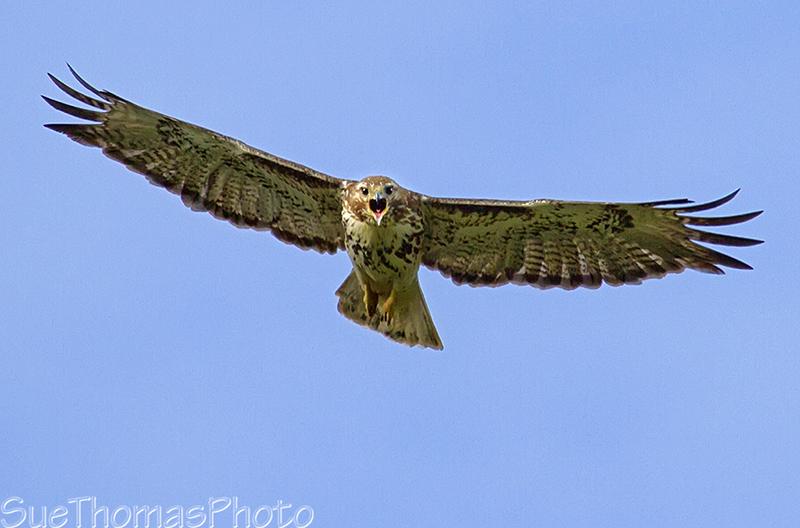 IMAGE: http://suethomas.ca/images/Birds/20120705_Hawk_0180.jpg