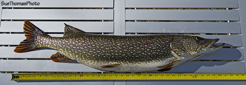Northern Pike 37 inches long caught by Steve Thomas