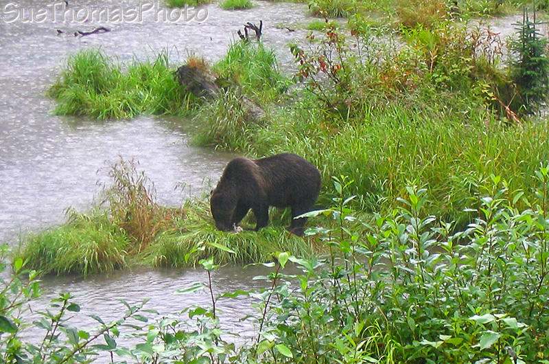 Grizzly feeding at Fish Creek AK