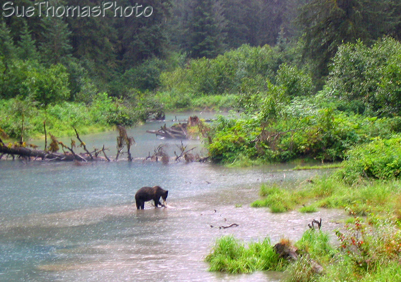 Grizzly at Fish Creek, AK