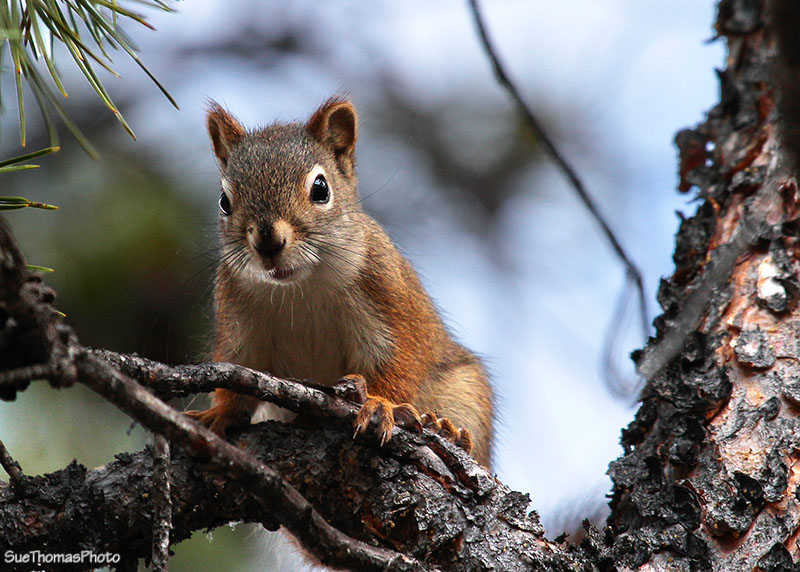 Squirrel - Yukon