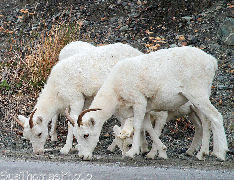 Dall Sheep in Kluane National Park
