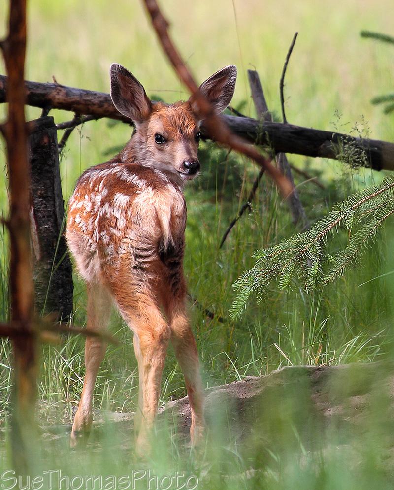 IMAGE: http://suethomas.ca/images/Wildlife/20120712_MuleDeerFawn_0298.jpg