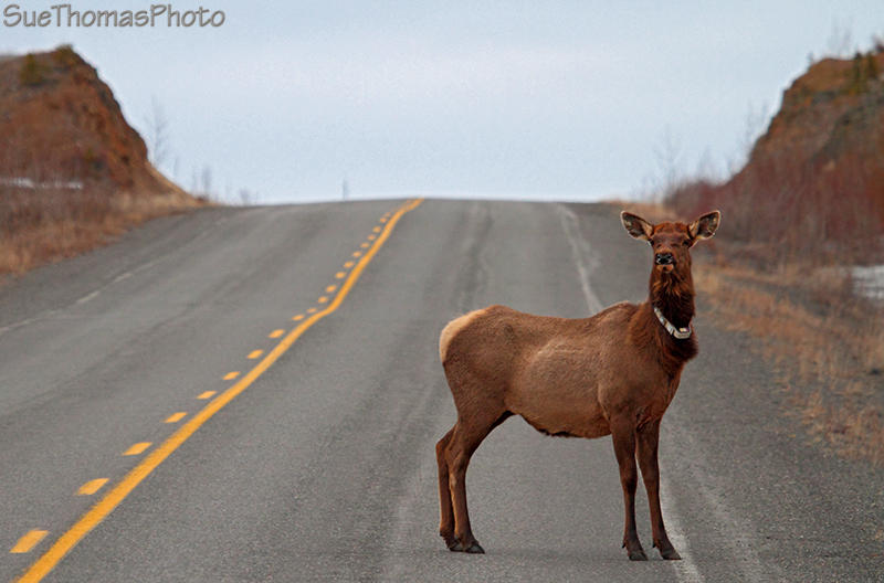 Elk cow on the North Klondike Highway in Yukon