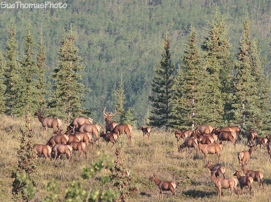 Elk herd in Yukon