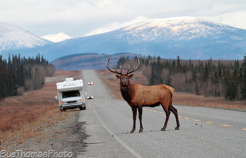 Takhini Elk Bull on the Alaska Highway