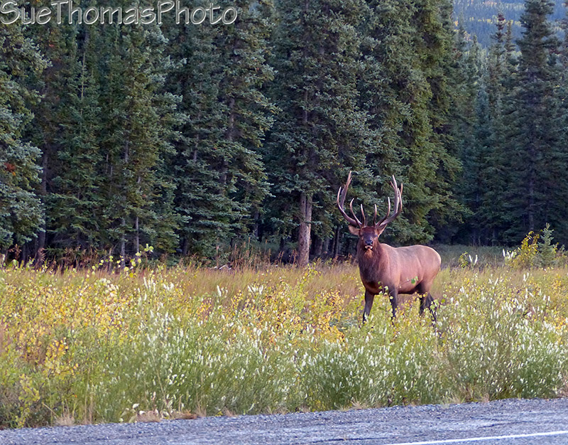 Bull Elk in early September