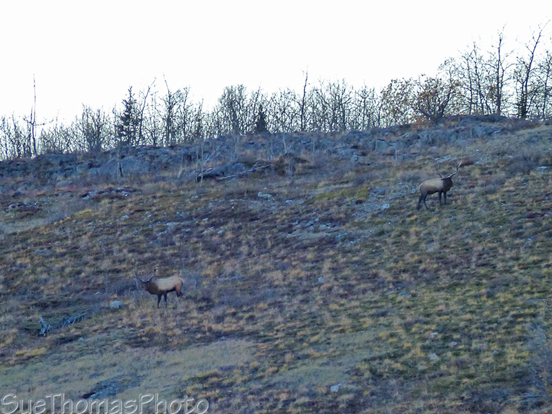 Elk on a slope