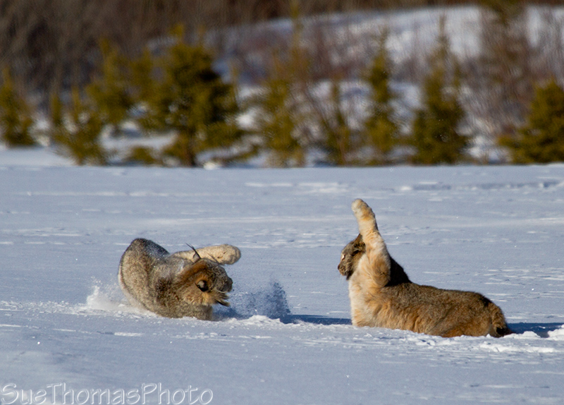 Lynx fighting in the snow