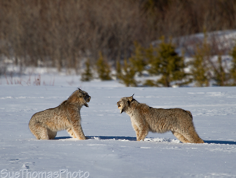Lynx hissing at each other