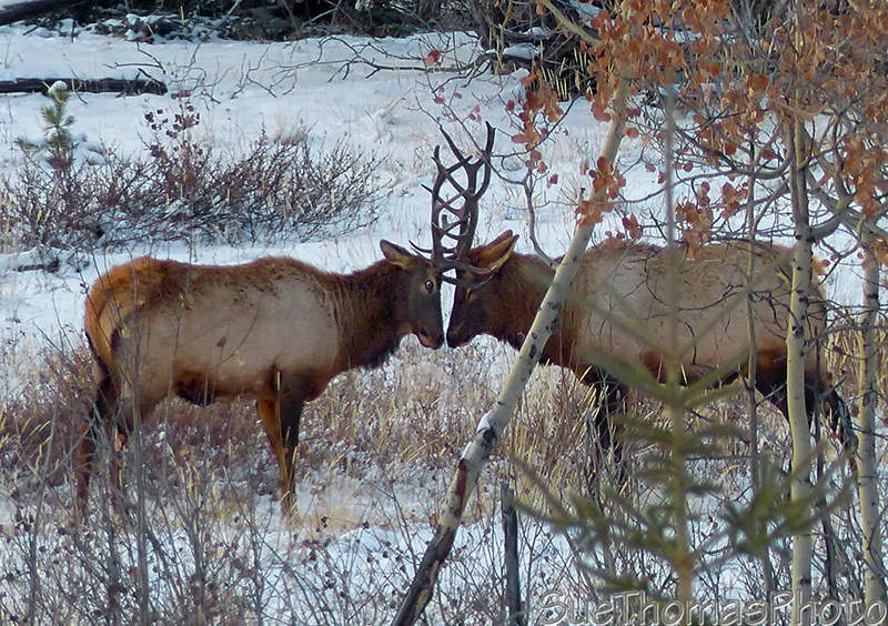 Elk during the rut season beside the Alaska Highway - September 2016